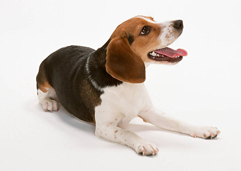 猎兔犬,注视,一只,白色,动物,观察,看,趴着,张嘴,可爱,摄影,比格犬