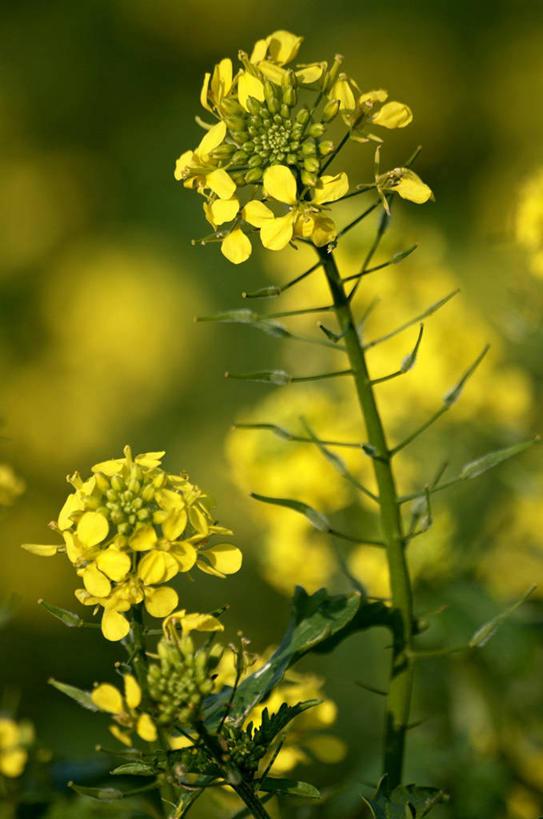 竖图,室外,特写,白天,正面,庄稼,农作物,花海,花圃,美景,植物,叶子图片