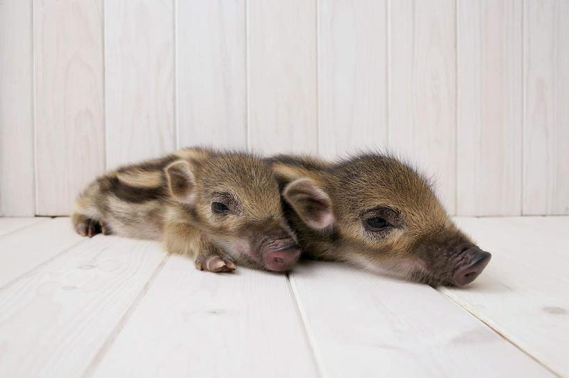 无人,横图,室内,白天,白色背景,正面,地板,野生动物,猪,条纹,野猪
