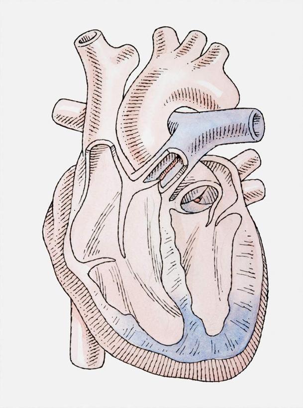 内脏,心脏,动脉,静脉,无人,竖图,室内,白天,白色背景,正面,绘画,静物
