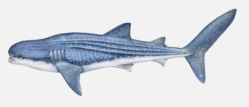 水生动物,水生物,凶猛,漫画,海底动物,写实,具体,具象,豆腐鲨,鲸鲨