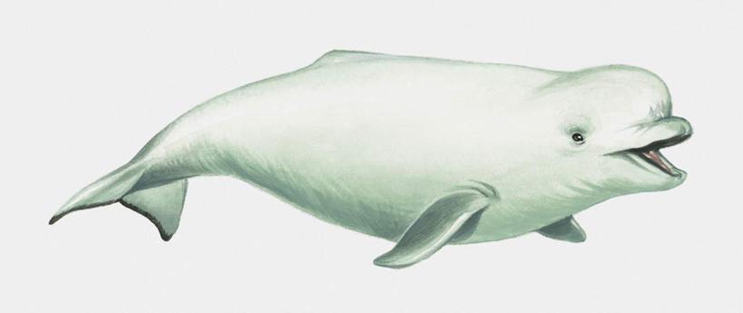 小白鲸简笔画大全图片