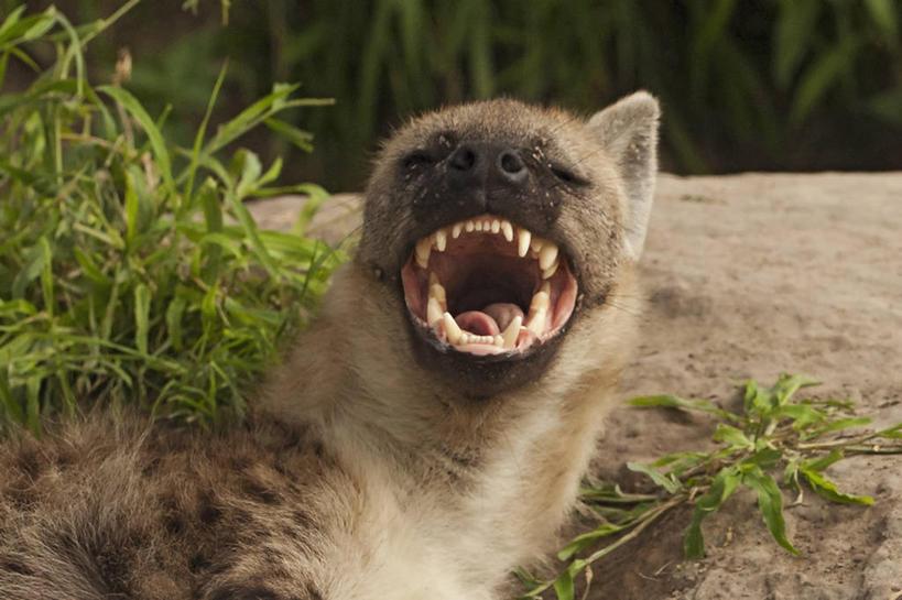横图,室外,白天,哺乳动物,野生动物,博茨瓦纳,咬,动物,张嘴,摄影,惊奇