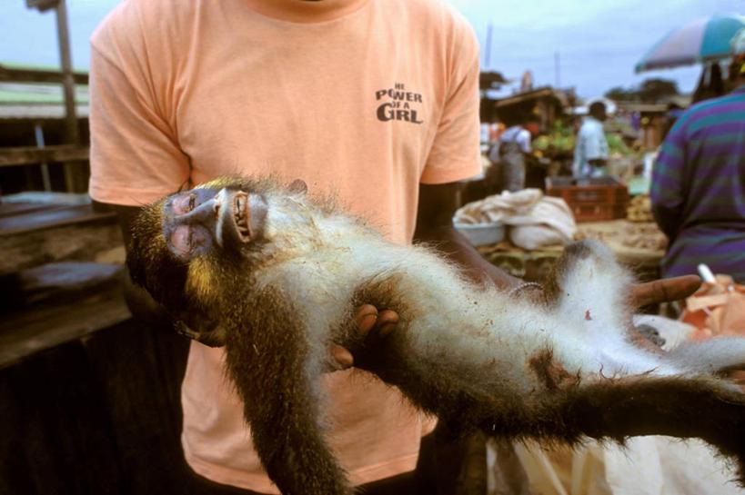 一个人,横图,猴子,非洲,加蓬,食品,拿着,饮食,动物,摄影,病毒,贩卖,艾图片