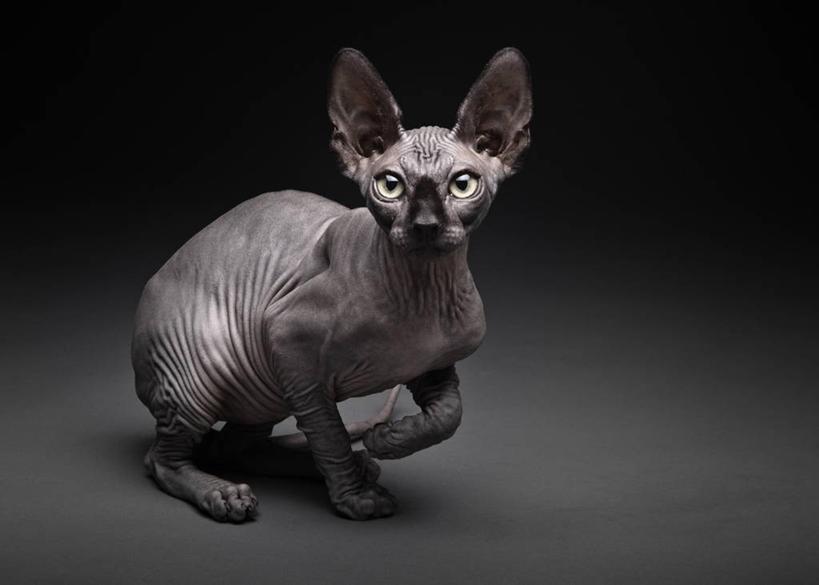 无人,蹲,横图,宠物,猫,黑色背景,动物,可爱,凝视,摄影,肖像,猫咪,机敏