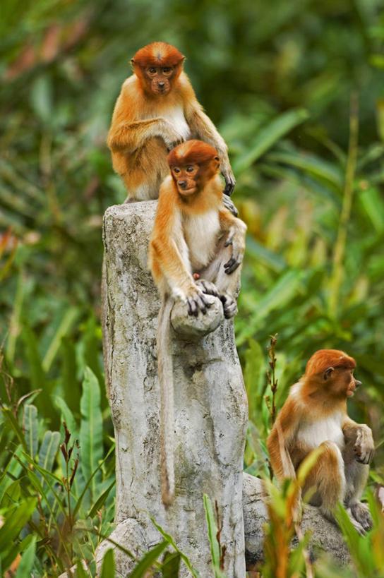 马来西亚,亚洲,自然,摄影,东南亚,热带雨林,婆罗洲,长鼻猴,加里曼丹岛