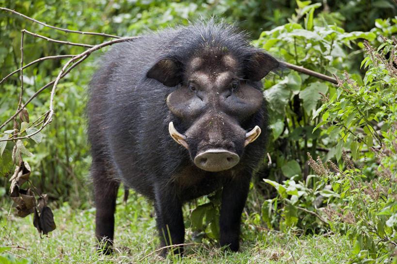 头发,无人,横图,室外,白天,野生动物,猪,非洲,肯尼亚,长牙,野猪,黑色