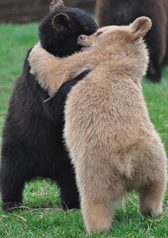 友谊,野生动物,熊,美国,小熊,草,动物,两只,摄影,南达科他州,拥抱
