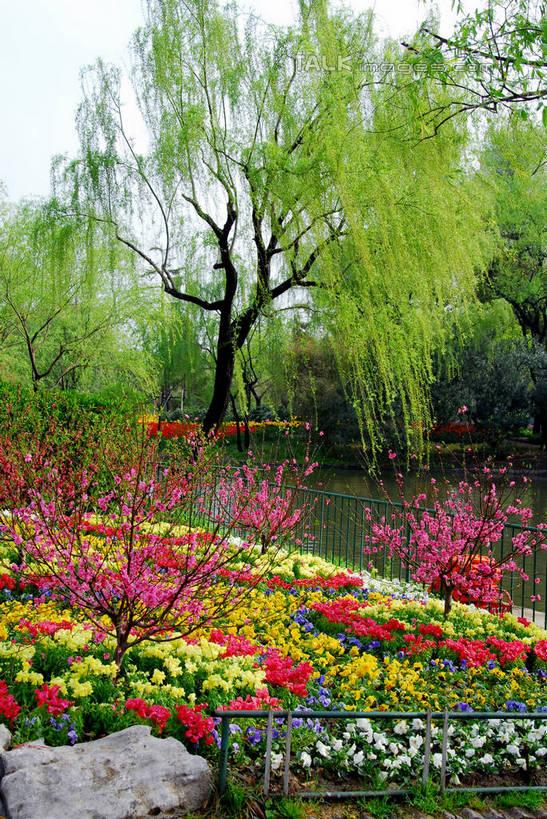 春天景色柳树盛开