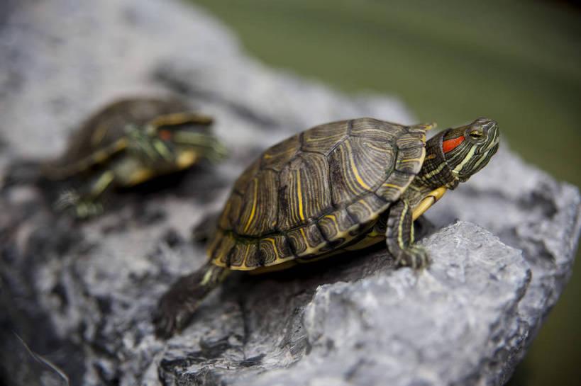 石头,龟,野生动物,香港,中国,图片,爬行,动物,两只,可爱,生存,乌龟